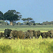 Panorama African Elephant Herd Endangered Species Tanzania Art Print