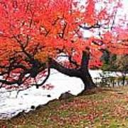 Panorama Of Red Maple Tree, Muskoka Print by Henry Lin