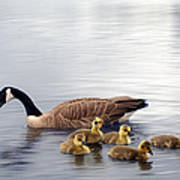 Panoramic Goose Family Outing Art Print