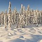 Panoramic View Of Snow-covered Spruce Art Print