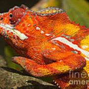 panther chameleon from Madagascar 3 Art Print
