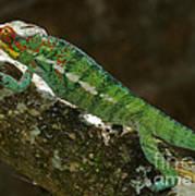 panther chameleon from Madagascar 5 Art Print