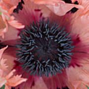 Papaver Orientale Pink Ruffles Art Print