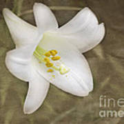 Paper Lily Art Print