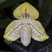 Paphiopedilum Concolor Orchid Art Print