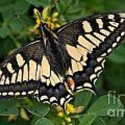 Papilio Machaon Butterfly Sitting On The Lucerne Plant Art Print
