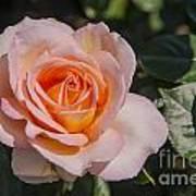 Parnell Pink Rose Art Print