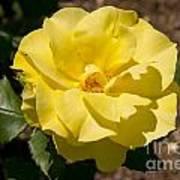 Parnell Yellow Rose Art Print