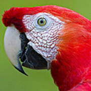 Parrot 35 Art Print