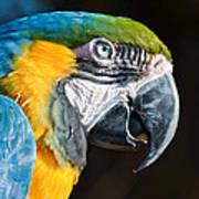 Parrot Close Up Art Print