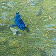 Parrotfish On A Swim Art Print by John M Bailey