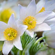 Pasque Flower Art Print