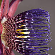 Passiflora Alata - Passion Flower - Ruby Star - Ouvaca Art Print