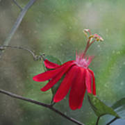 Passiflora Flower Art Print