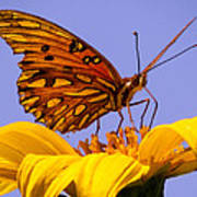 Passion Butterfly On The Mexican Sunflower Art Print