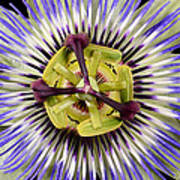 Passion Flower-0008 Art Print