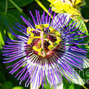 Passion Fruit Flower Art Print