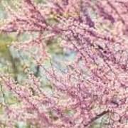 Pastel Pink Flowers Of Redbud Tree In Springtime  Art Print by Lisa Russo