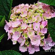 Pastel Pink Hydrangea Art Print