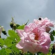 Pastel Pink Roses With Bee Art Print