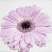Pastel Purple Gerbera Art Print
