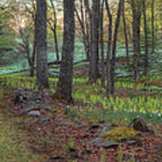 Path To The Daffodils Art Print by Bill Wakeley