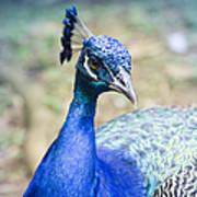 Pavo Cristatus II Indian Blue Peacock Art Print