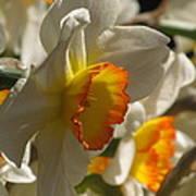 Peach And Cream Daffodil Art Print