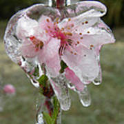 Peach Blossom In Ice Art Print