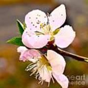 Peach Blossoms 1 Art Print