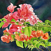 Peach Colored Bougainvillea With Dark Background Art Print by Sharon Freeman