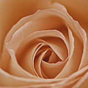 Peach Rose Art Print by Lesley Rigg