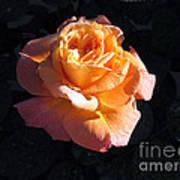 Peach Rose Palm Desert Art Print