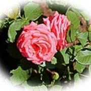 Peach Rose Art Print by Victoria Sheldon