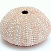 Peach Sea Urchin White Art Print