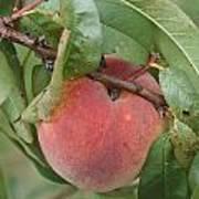 Peach For Harvest   # Art Print