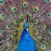 Peacock And Proud Plumage Art Print