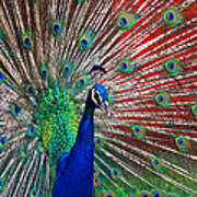 Peacock And Red Barn Art Print