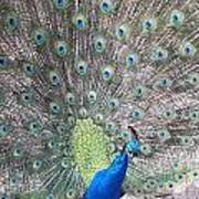 Peacock Bow Art Print