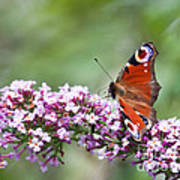Peacock Butterfly  Inachis Io  On Buddleia Art Print