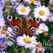 Peacock Butterfly Perched On The Daisies Art Print
