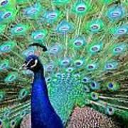 Peacock Delight Art Print