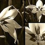 Peacock Gladiolus Triptych Art Print