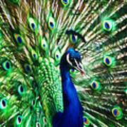 Peacock - Impressions Art Print