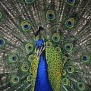 Peacock In Open Feathers, Victoria, Bc Art Print