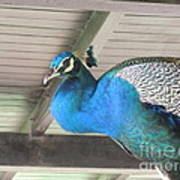 Peacock In The Rafters Art Print