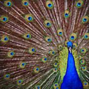 Peacock Squared Art Print