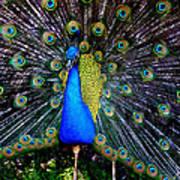 Peacock Wallpaper Art Print