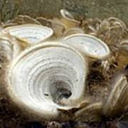 Peacocks Tail Algae Art Print by Science Photo Library