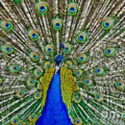 Peafowl Peacock Art Print